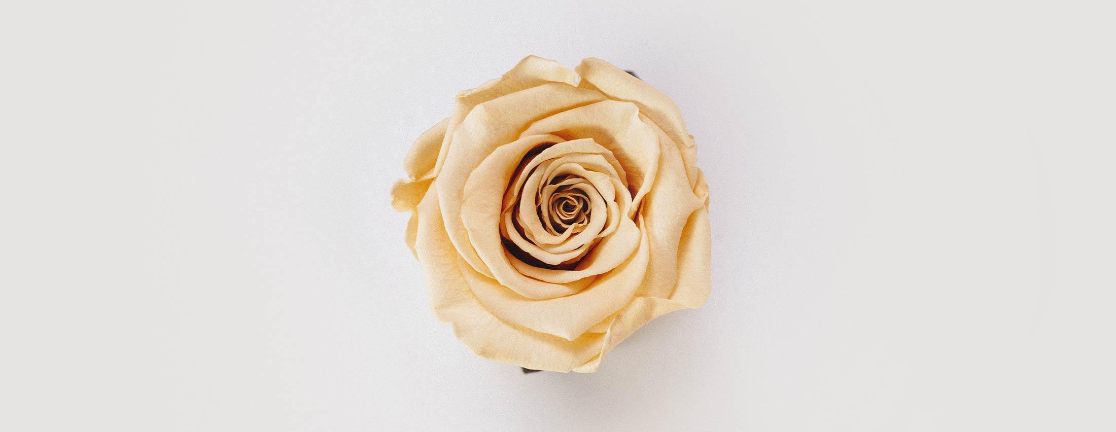 Beautiful Rose | Graphic Design Blog